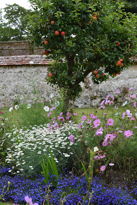 cosmos under apple tree