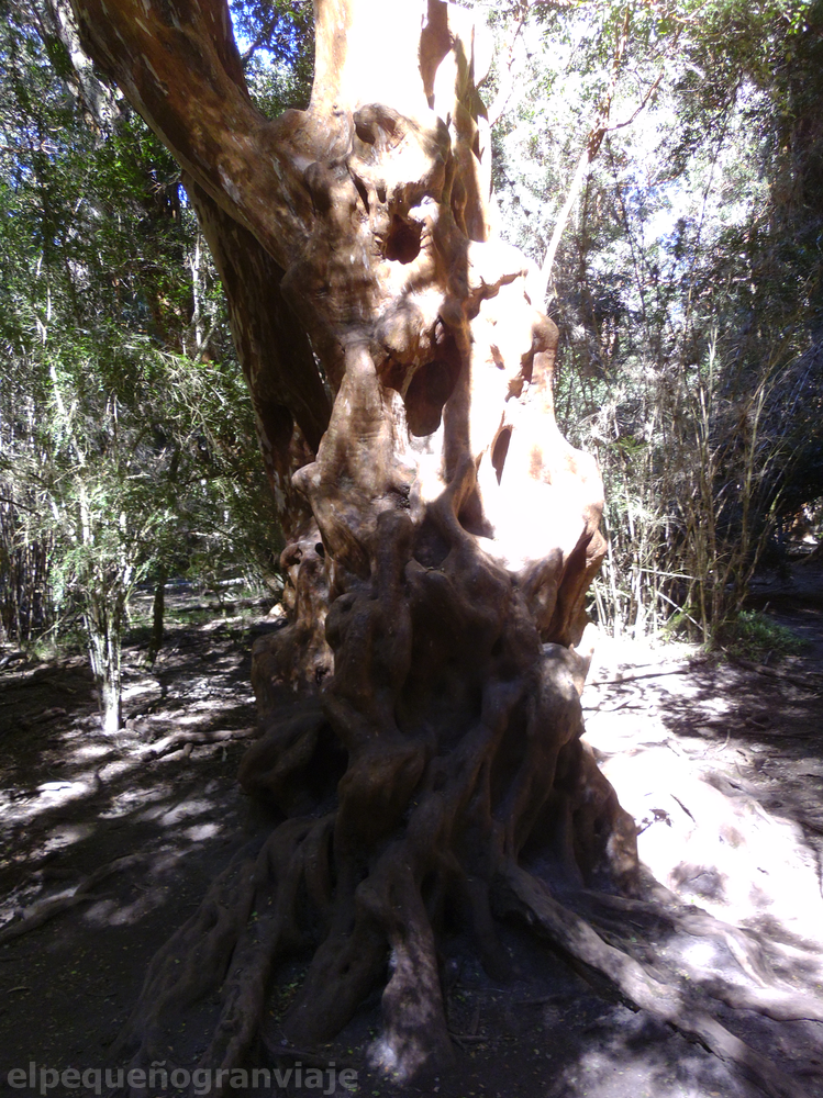 Parque de Arrayanes, Bariloche, tronco