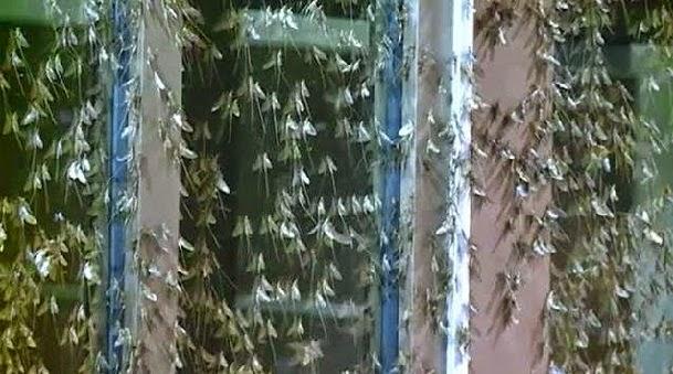 Lalat Capung Cuma Hidup Sehari