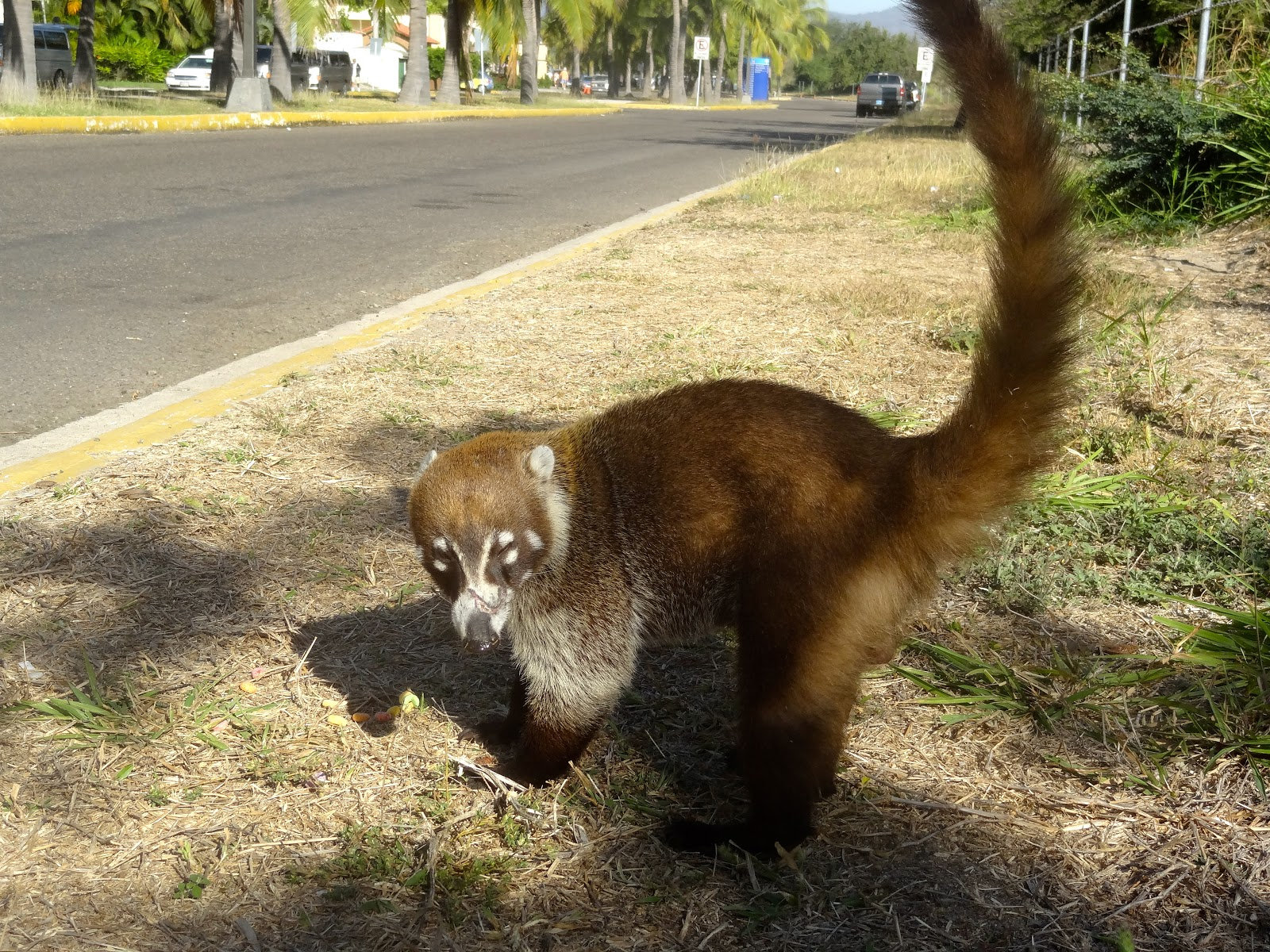 What Is A Coati? AKA Tejon or Mexican Raccoon