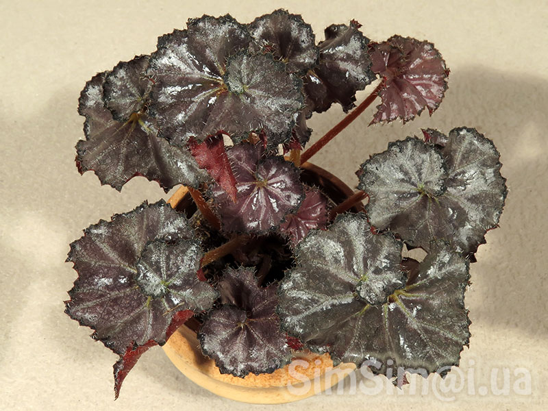 "Begonia ""Five and Dime"""