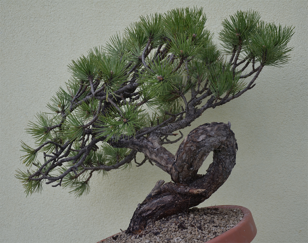 Bonsai Living Art Pinus Nigra Yamadori