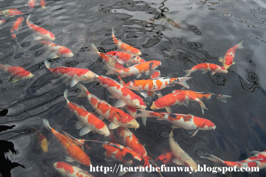 Catching the 39 longkang fish at mainland tropical fish for Koi fish farm