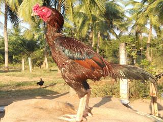 Ayam Asil