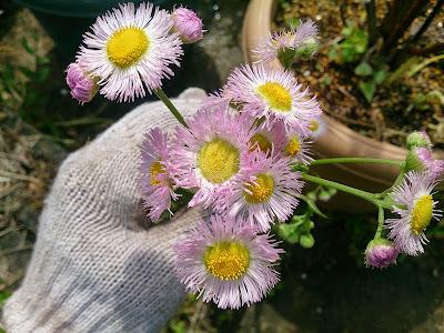 ハルジオンの花(淡い紫)