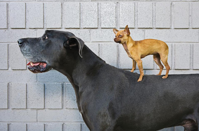 The giant dane puppy and chihuahua puppy