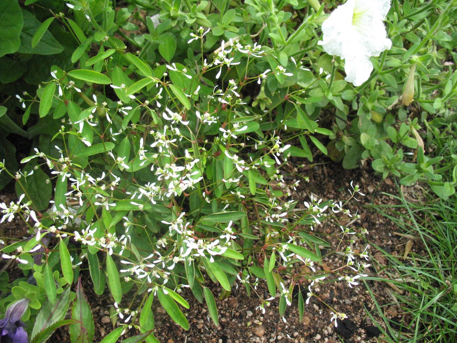 Roses du jardin ch neland pour un massif de fleurs blanches for Jardin de fleurs blanches
