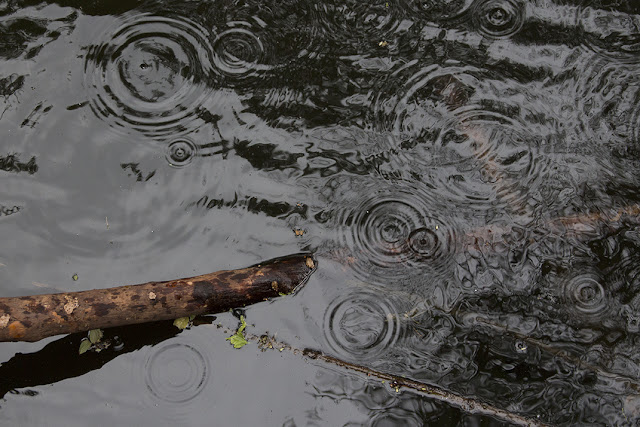 branch half in water and circles of raindrops