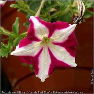 Petunia multiflora  'Hurrah Red Star' flower  - Petunia wielokwiatowa  kwiat