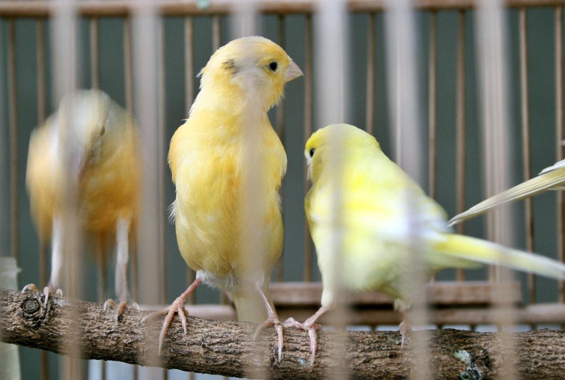 Kicau Burung Cerukcuk Kuning