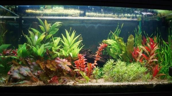 l 39 aquarium de nicolas entretien de mon aquarium. Black Bedroom Furniture Sets. Home Design Ideas