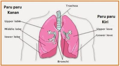 gambar1 paru-paru