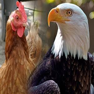 Você é águia ou galinha ?