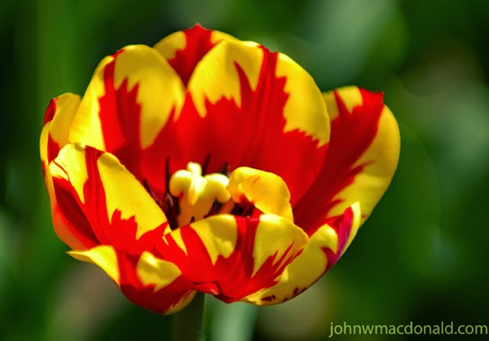 Foto Gambar Bunga Tulip Warna Warni