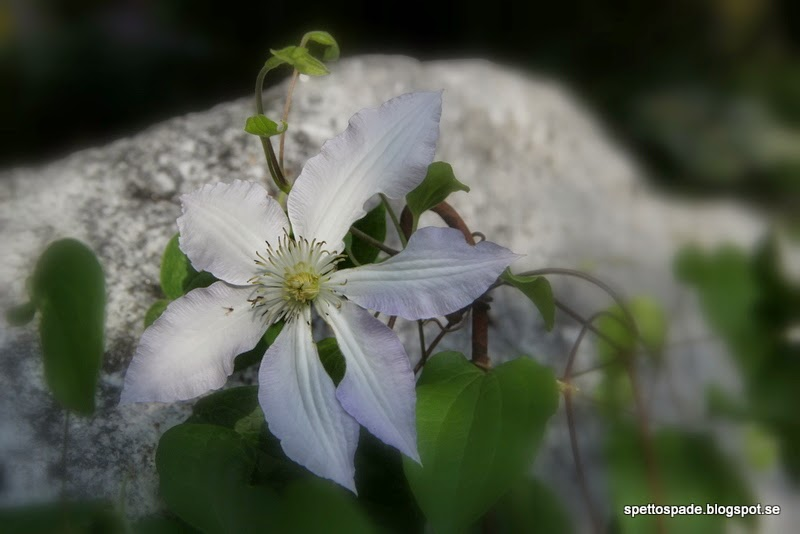Storblommig Clematis