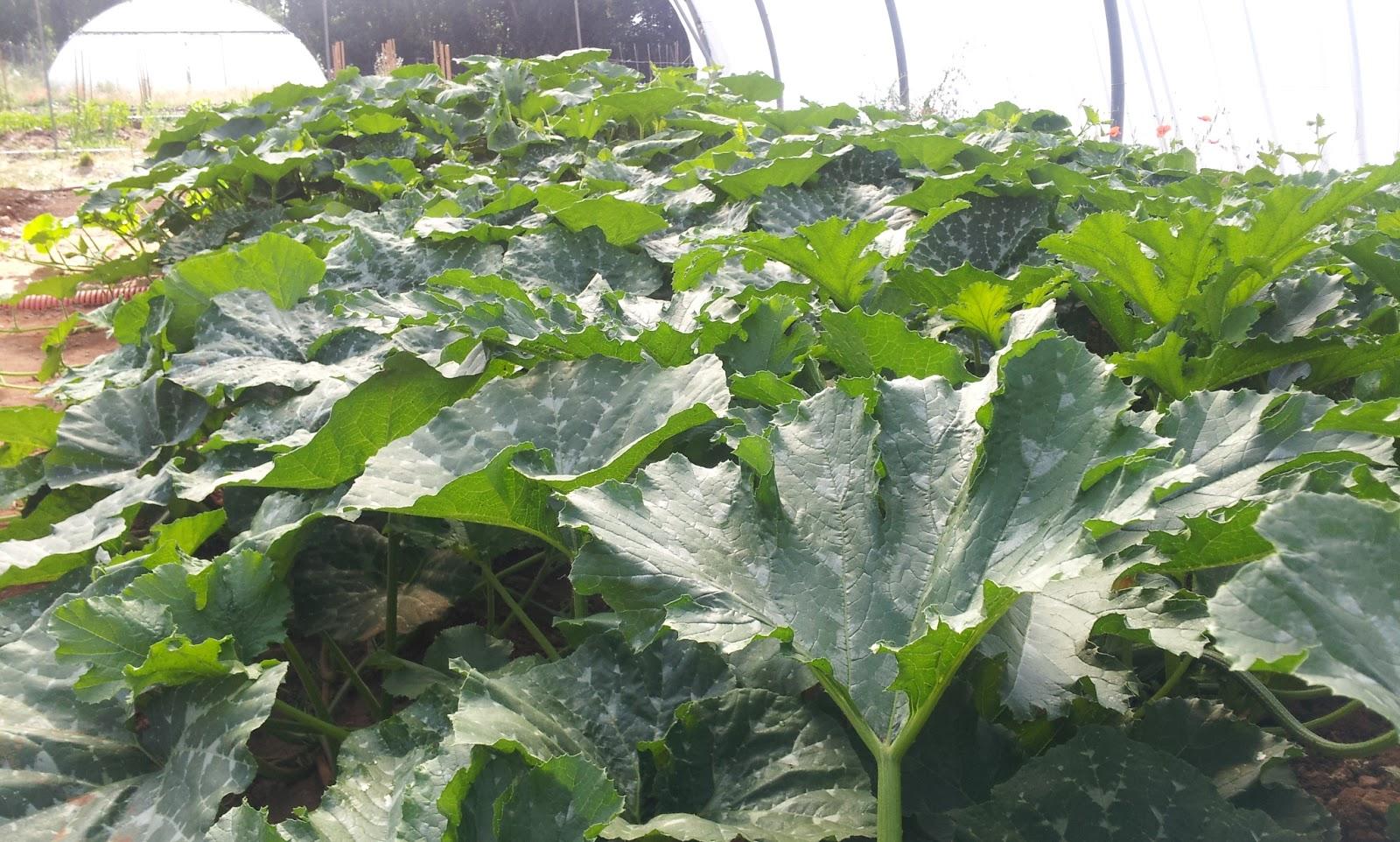 Calabazas y calabacines invernadero Regadera Verde