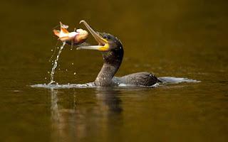 ảnh đẹp hình chim cốc bắt cá