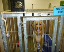 "The golden is sitting on the same kind of dog bed in a different kennel, looking at the camera. The kennel has tan tile walls with metal bars for the door. There is a teal blue sign on the top right of the kennel that says ""dog care only."""