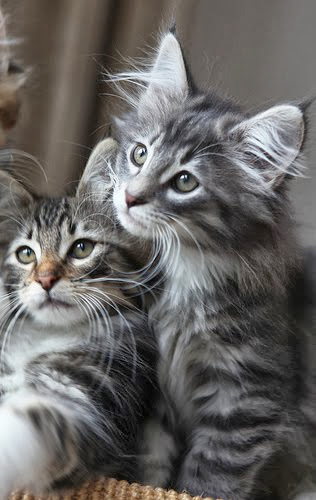 Norwegian Forest Cat Litter Size