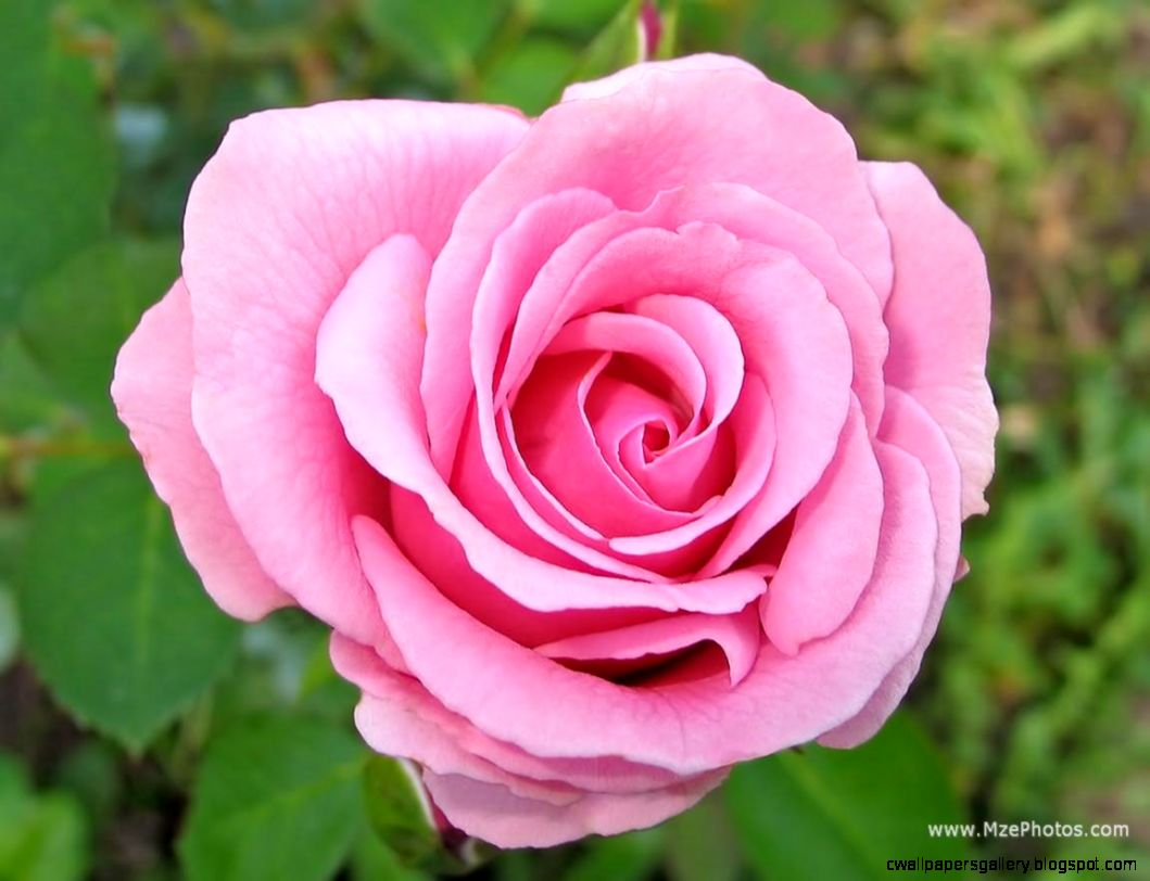 Free Pink Rose Photo 1152x864   Full HD Wall