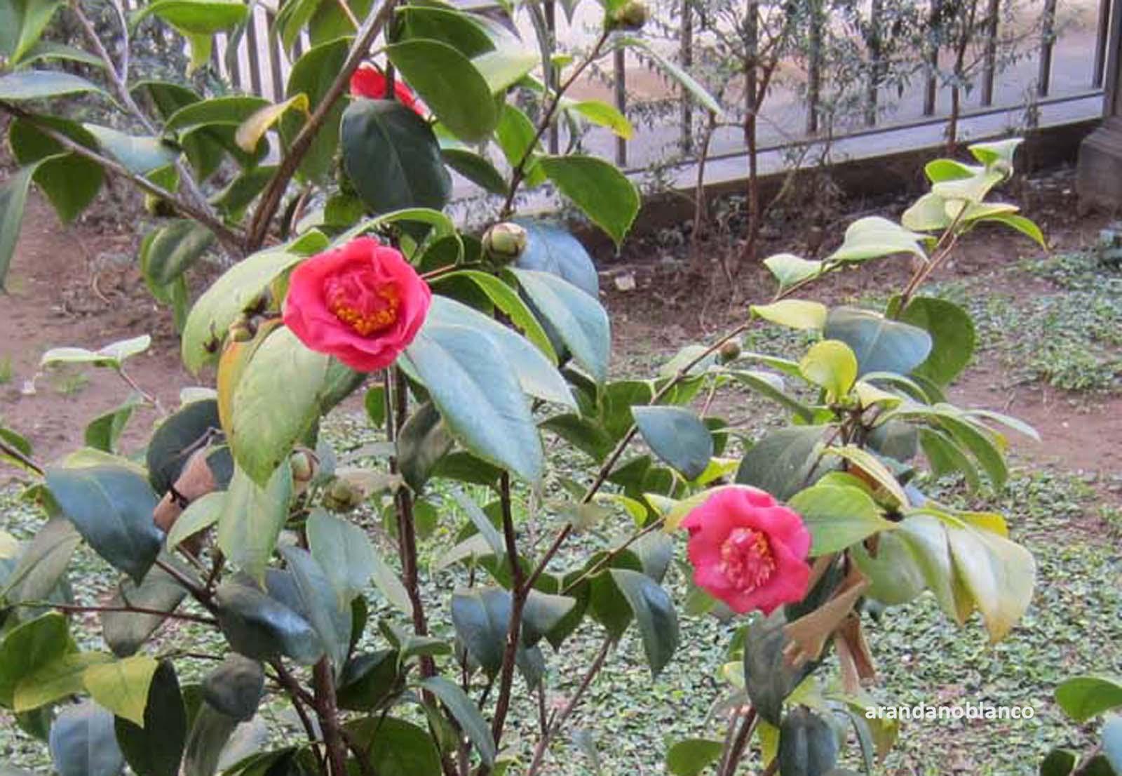 arbustosensevilla-encinarosa: Camelia/ Camelia japónica / Rosa del ...