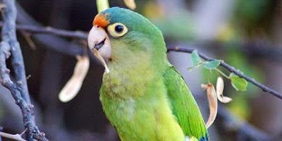 Cara Burung Beo Menyapa Lawan Bicaranya [ www.BlogApaAja.com ]