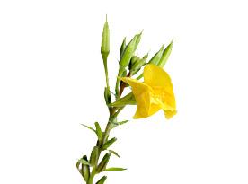 ηρανθεμο η Oenothera biennis η νυχτολουλουδο η Evening primrose