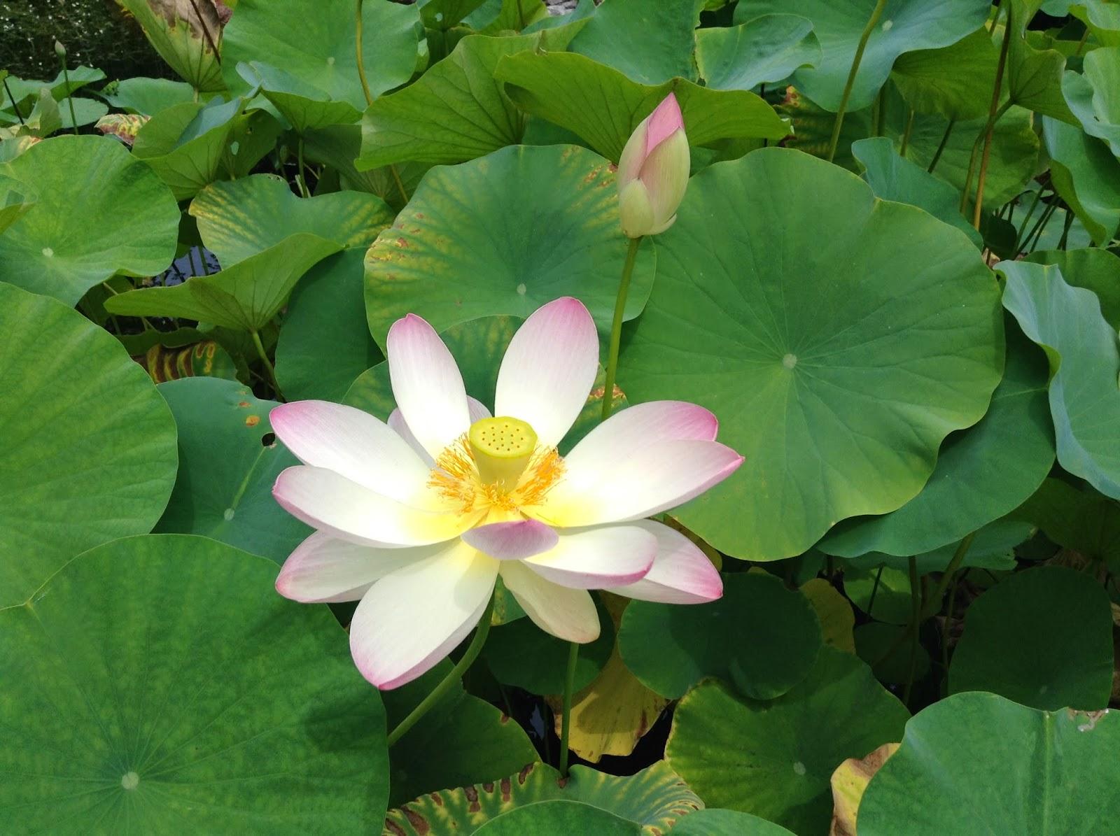 Lotus Flower Pod Disease Comousar