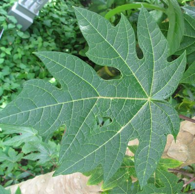 Papaya Leaf for Health | Herbal Medicine and Nutrition