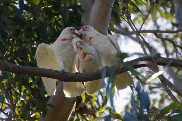 long billed corellas at albert park