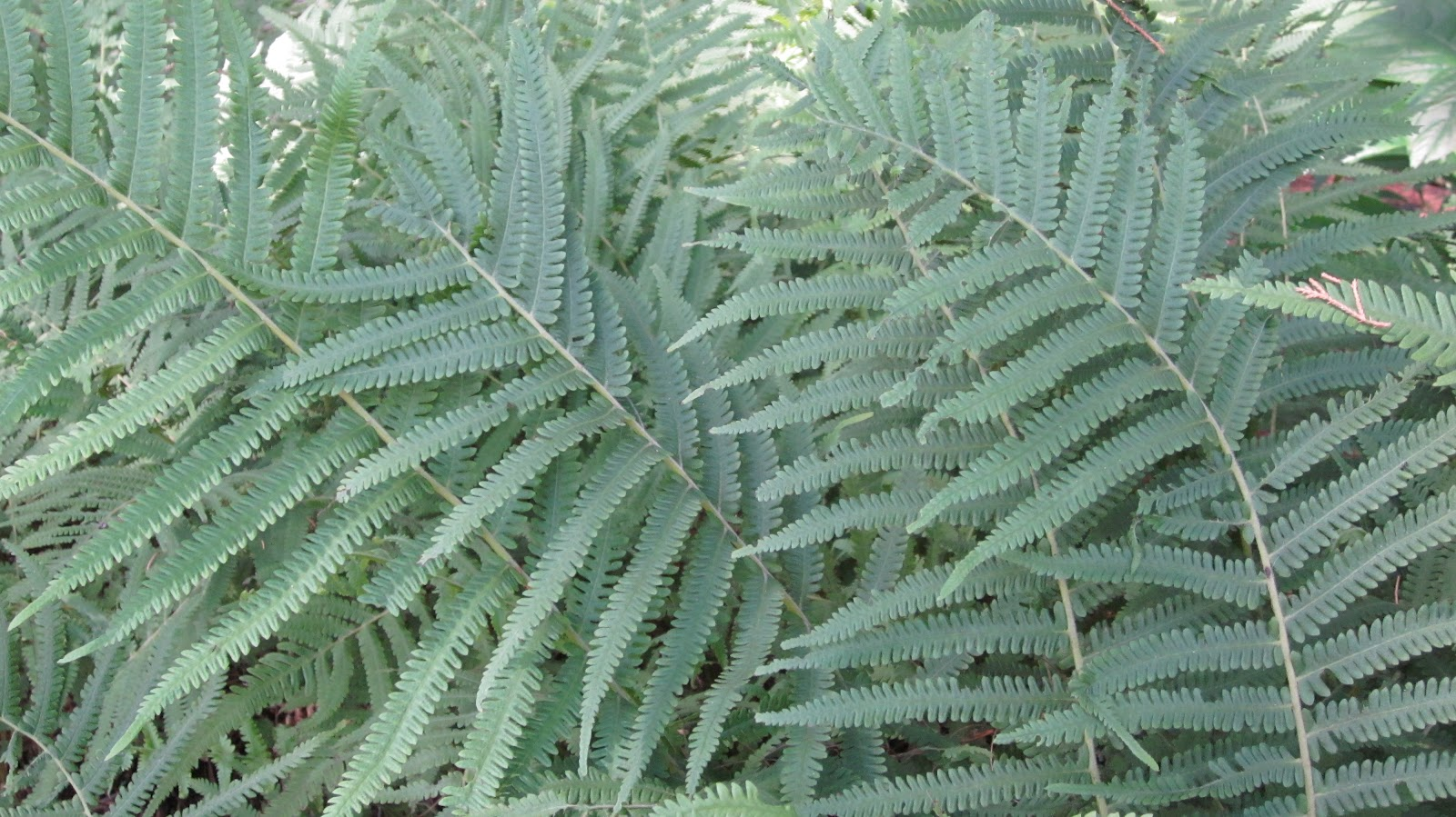 Below Is Southern Wood Fern. This Fern Is Pretty Common, I Bought This At  WalMart, And Itu0027s Pretty Inexpensive. It Spreads Quickly.