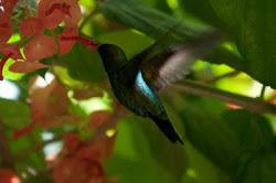 A delicadeza do beija-flor...