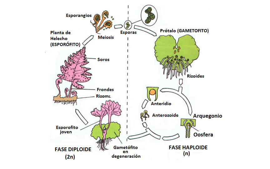 Ciencias en el cic biolog a 1 bachillerato reproducci n - Cuidados de los helechos ...