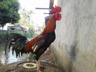 Beberapa kriteria penilaian suara kokok ayam pelung
