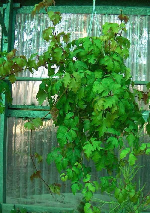 Piante e fiori cissus dalle foglie ornamentali for Piante rampicanti ornamentali