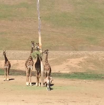 Giraffes at San Diego Zoo Safari Park