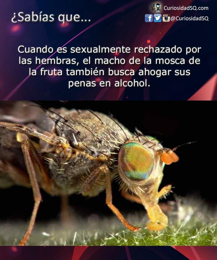 Sabías que?: El macho de la mosca de la fruta ahoga sus penas en ...