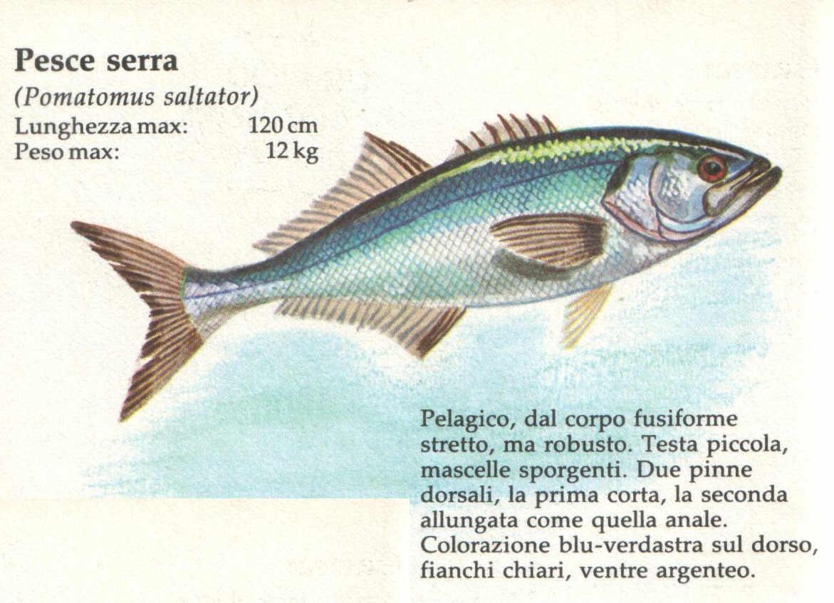 Quellidellapesca roma il pesce serra pomatomus saltarix - Pagina di colorazione del pesce ...