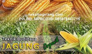 Pemupukan yang praktis pada tanaman jagung dengan pupuk NASA