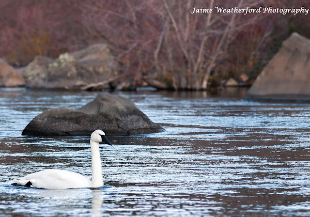 Swans at First Street Rapids  Bend oregon Jaime Weatherford