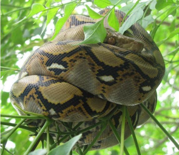 snakes large anaconda snake