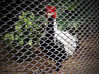 Birds, Pheasant, Silver Pheasant, silver black bird