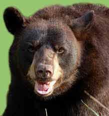 Misteri Hibernasi Beruang Hitam