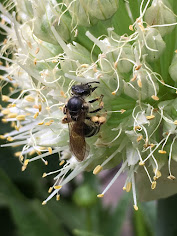 Native Bee on Allium