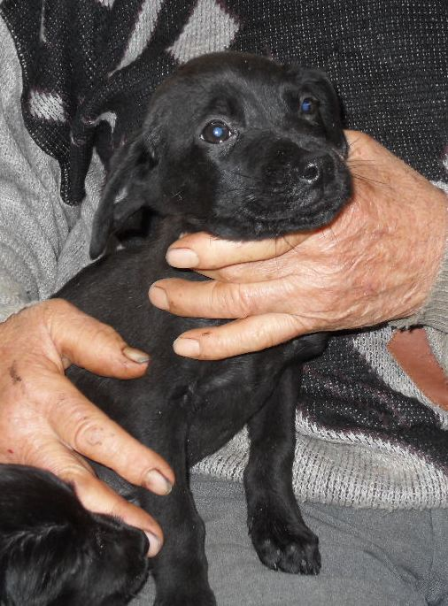 Cuoredicane fw splendido cucciolone incrocio labrador di for In cerca di una nuova casa