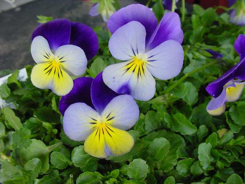 Piante e fiori piante perenni che fioriscono in estate a for Viola cornuta inverno