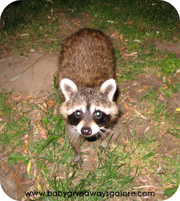 raccoon, wild animal