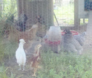 baby chicks, backyard chickens, Plymouth Rock, Cinnamon Queen