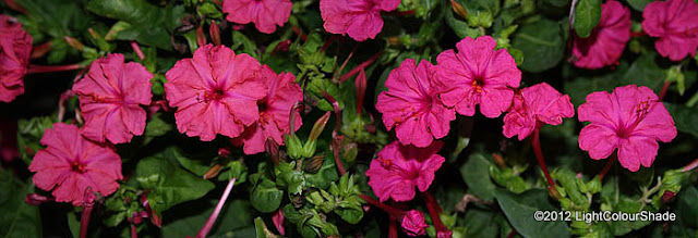 Mirabilis jalapa (The four o'clock flower) deep pink flowers