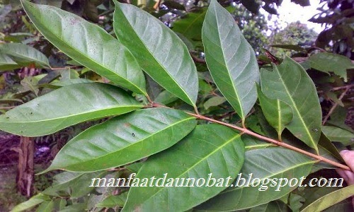 manfaat khasiat daun salam